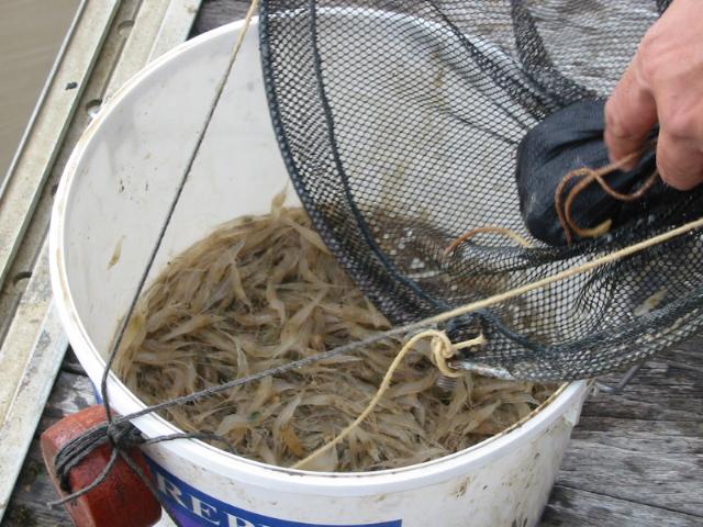 Location de balance – pêche dans l'estuaire